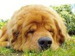 Pies rasy mastif tybetański