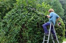przycinanie drzewa